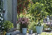 Kuebelpflanzen am Gerätehaus : Nerium oleander 'Salmone Semplice'
