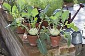 Kohlrabi (Brassica oleracea var. Gongylodes) in clay pots