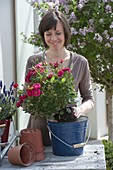 Plant pot roses in enamel pail