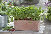 Radishes in terracotta box
