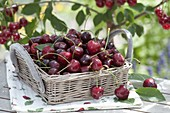 Freshly picked cherries (Prunus avium) in basket with handle
