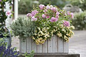 Wooden box with lemon thyme 'Silver King', pink