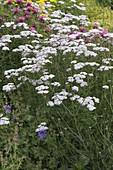 Achillea millefolium (Schafgarbe) , Hildegard von Bingen Heilpflanze