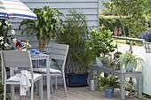 Zimmerpflanzen im Sommer auf dem Balkon : Drachaena massangeana