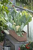 Blumenkohl 'Candid Charm f1' (Brassica oleracea var. botrytis)
