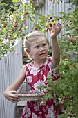 Girl at the raspberries (Rubus) harvest from the planters