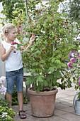 Girl harvesting raspberries (rubus) from the bucket
