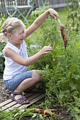 Girl harvesting carrots, carrots (Daucus carota) in the vegetable bed