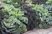 Cabbages in a bed of kale 'Lerchenzungen' 'Redbor', Brussels sprouts