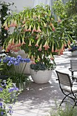 Fragrance terrace with Datura 'Pink Favorite' and Agapanthus