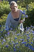 Frau schneidet Centaurea cyanus (Kornblumen) für Strauss