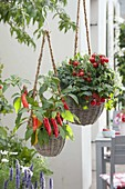 Hanging baskets with bush tomato 'Balkonstar' and snack paprika