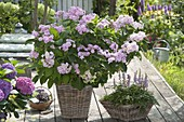 Hydrangea macrophylla 'You And Me' and Astilbe 'pumila'