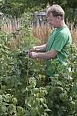 Man ties raspberry rods (Rubus idaeus) to wire