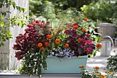 Turquoise box with coleus, fennel, bacopa