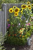 Helianthus (sunflower), Cosmos (daisy), Zinnia