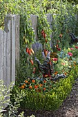 Tomatoes 'Striped Roman' on the fence, hedge made of Buxus