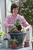 Woman planting strawberries in big tub