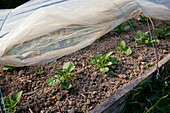 Grow early potatoes (Solanum tuberosum) in the morning bed tunnel