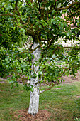 Lime paint on pear tree protects the trunk from frost cracks and pests