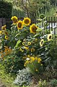Helianthus annuus 'Sunrich Gold' 'Garden Statement'
