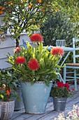Tropische Pflanze : Haemanthus multiflorus (Blutblume)