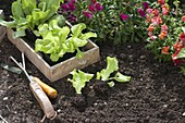 Planting lettuce in the bed in late summer
