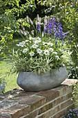 Pleioblastus variegatus, Leucanthemum superbum 'Angel'