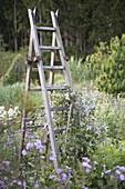 Leiter mit Clematis (Waldrebe) bewachsen