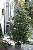 Putting Christmas tree in stand and decorate it
