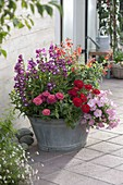 Old zinc sink planted with Penstemon, Zinnia
