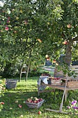 Apple harvest - woman picking apples, boxes of freshly picked apples