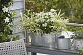 Zinc tub with Pleioblastus variegatus, Leucanthemum