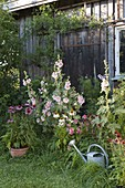 Perennial border on the scales, Alcea and Echinacea purpurea
