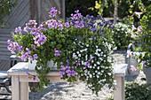 Box with Pelargonium peltatum 'Blue Blizzard', Bacopa