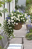 Hanging basket with Argyranthemum 'Ping Pong', Bacopa