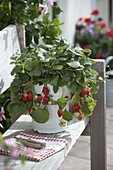Hanging strawberry (Fragaria) in enamelled bucket on wooden bench