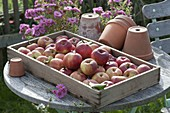 Wooden box with freshly picked apples 'Danziger Kantapfel'