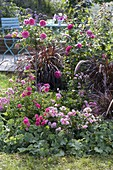 Late summer bed with Rosa 'The Fairy', 'Heidetraum'