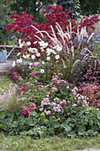 Autumnal bed with Rosa 'The Fairy' 'Heidetraum', Pennisetum
