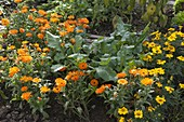 Radish (Raphanus) between Calendula (Marigold) and Tagetes