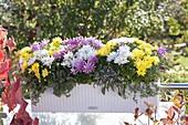 Weisser Lechuza - Kasten mit dreifarbig gemischten Chrysanthemum