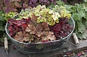 Heuchera 'Amber Lady', 'Creme Brulee', 'Red Fury' and Heucherella