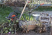 Cut off dahlias in the autumn, dig them up and hibernate in box with sand