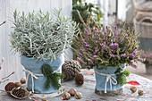 Erica darleyensis (snow heath) and lavender (Lavandula)
