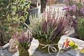 Calluna vulgaris 'Trio Girls' in pot with moss