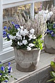 Calluna vulgaris 'Alicia' (Budding Broom Heath), Cyclamen