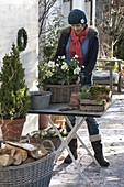 Woman planting Christmas roses in basket