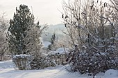 Snowy garden with shrubs, Malus shrub with fruits