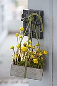 Wooden box with Eranthis hyemalis and moss hung on door